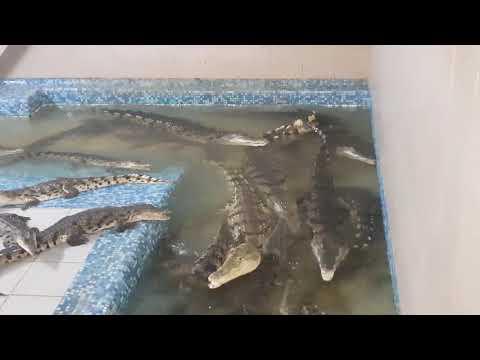 A nile crocodiles feeding