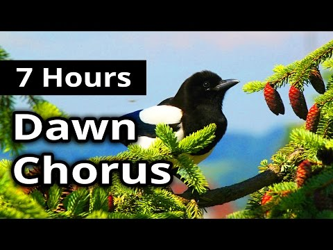 7 Hours - DAWN CHORUS - Birds in the Morning - Ambiance for restaurants, spas, health farms...