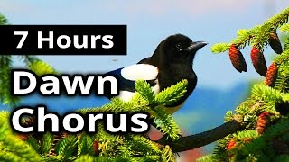 7 hours   dawn chorus   birds in the morning   ambiance for restaurants spas health farms