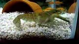 Crayfish Attack
