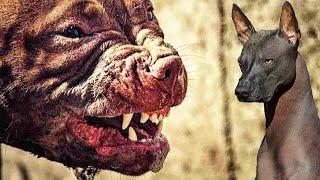 Самые злейшие Собаки на планете. На их фоне волки невинные ягнята !