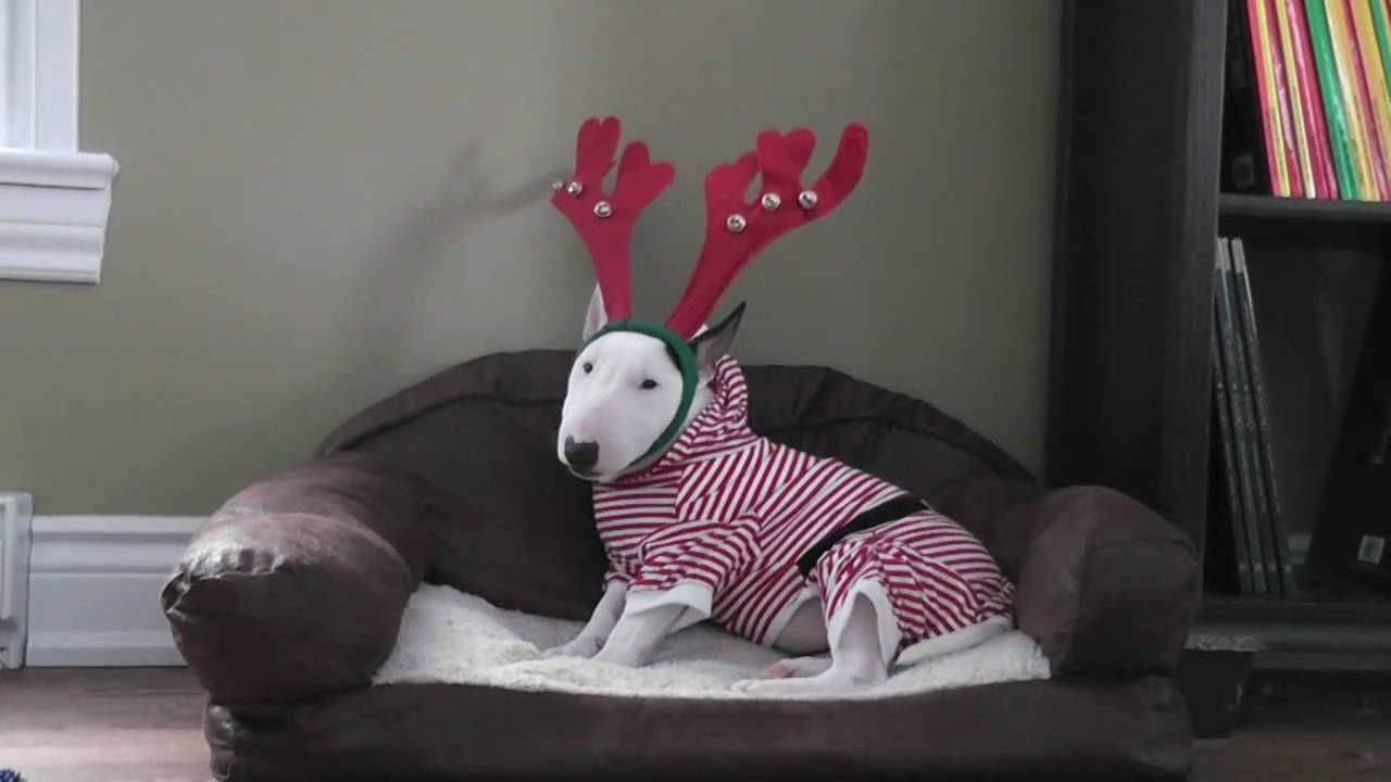 Mini Bull Terrier Wearing Her Christmas Pyjama YouTube