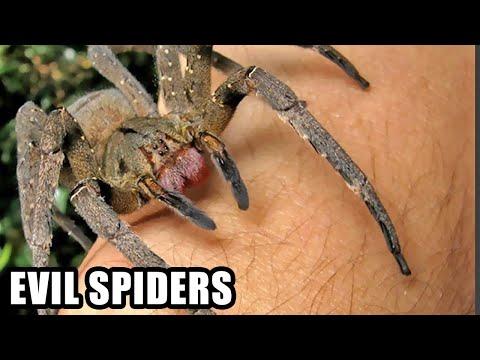 Boner Spiders; Brazilian Wandering Spider Bites Do What?
