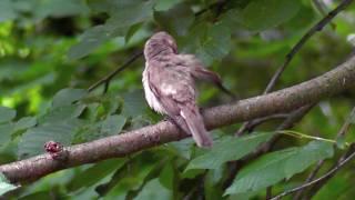 Gobemouche gris - Muscicapa striata