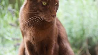 Havana Brown  Cat Breed  Pet Friend