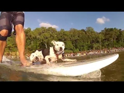 More Woofs, Waves and Wipeouts for Australia's world famous 2016 Surfing Dogs