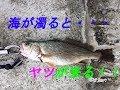 奥松島でのんびり海釣り・イシモチのターン の動画、YouTube動画。