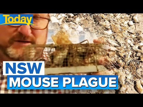 Mouse plague back in NSW town | Today Show Australia