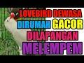 Cara Mengatasi Lovebird Dewasa Dirumah Gacor Tapi Digantangan Gak Mau Bunyi  Mp3 - Mp4 Download