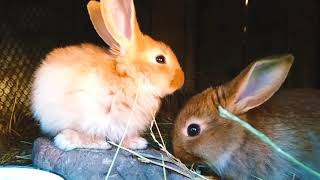 Cute rabbits in the aviary are eating grass (*^‿^*)