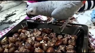 Jako papağan Paşa