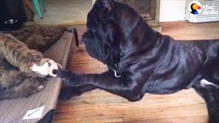 Huge Dog Is So Gentle With All His Siblings | The Dodo