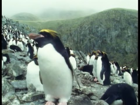 Macaroni Penguins | Attenborough: Life in the Freezer | BBC