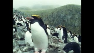 Macaroni Penguins - Attenborough: Life in the Freezer - BBC thumbnail