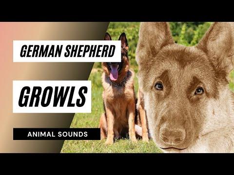The Animal Sounds: German Shepherd Growls - Sound Effect - Animation