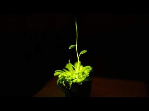 Glowing Plants to Light Your Home? Here They Come!