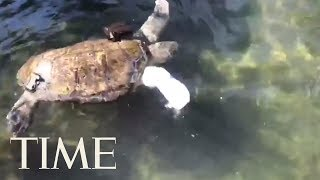 Amputee Sea Turtle Swims Again Thanks To New Prosthetic Fin   TIME