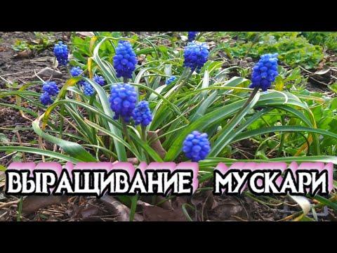 МУСКАРИ - Самые Красивые Весенние Цветы - ВЫРАЩИВАНИЕ И УХОД