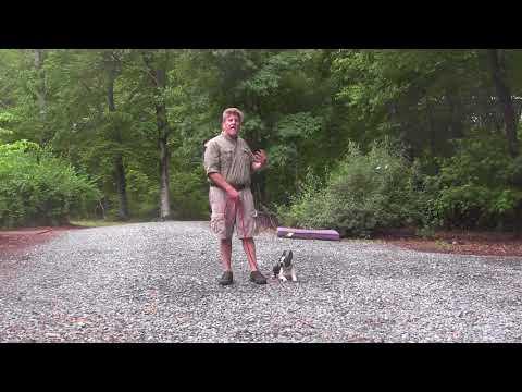 Boston Terrier Dog Training | Winston-Salem NC _  Sebastian