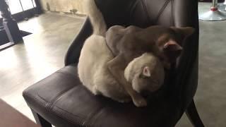 [솜이 & 윙크 ] Munchkin & Abyssinian cat fight