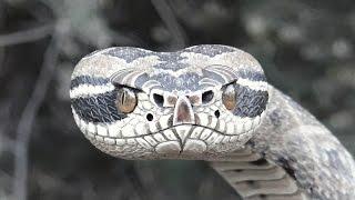 Rattlesnake Wrapped Walking Cane #42