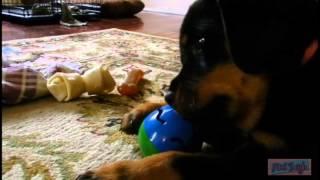 Rottweiler Puppy Steals Cat's Toy