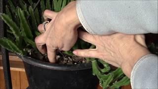 Полив комнатных растений.(Комнатные цветы тогда будут хорошо расти, когда за ними буде установлен правильный уход. О том когда и как..., 2016-01-06T15:15:23.000Z)