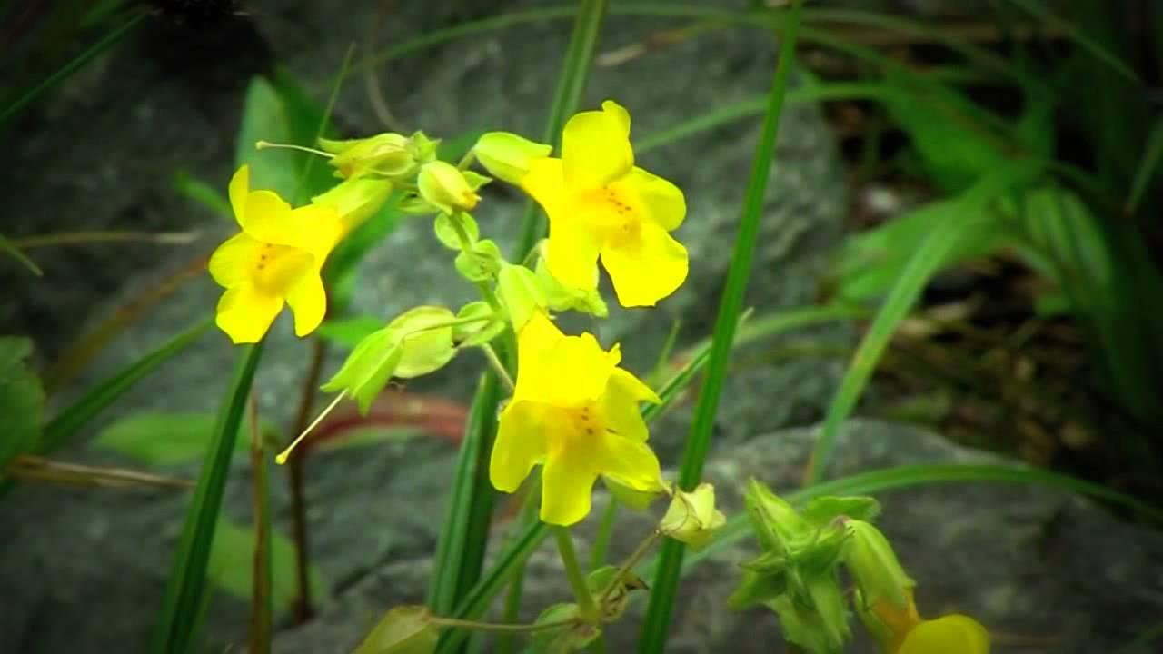 Yellow Monkey Flower Texas Native Plant Youtube