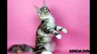 Фотографии кота мейн-куна.