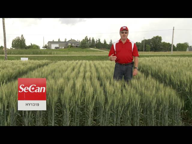 SeCan HY1319 CPS wheat Travel Video