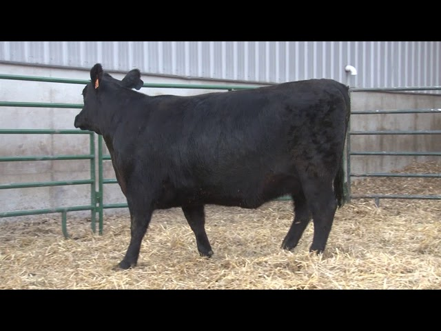 Schiefelbein Angus Farms Lot 399