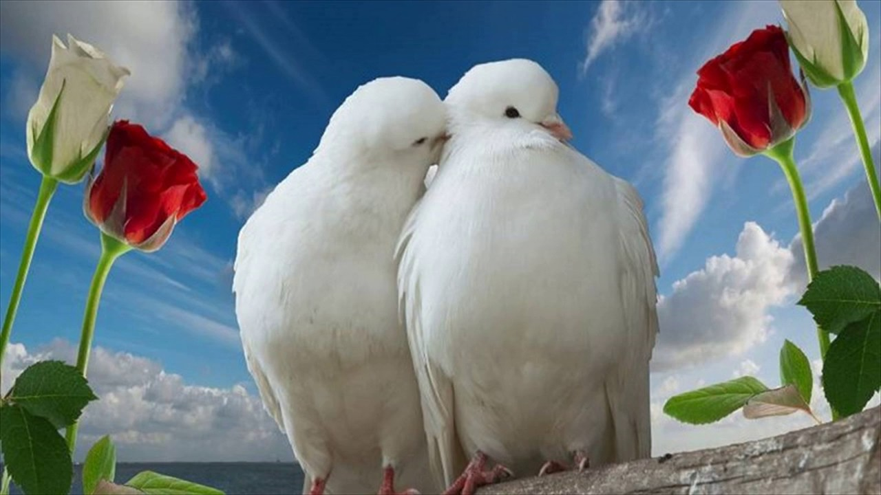 Citaten Love Bird : White love birds photos youtube