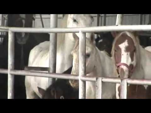 Stop American Horse Slaughter & Transport