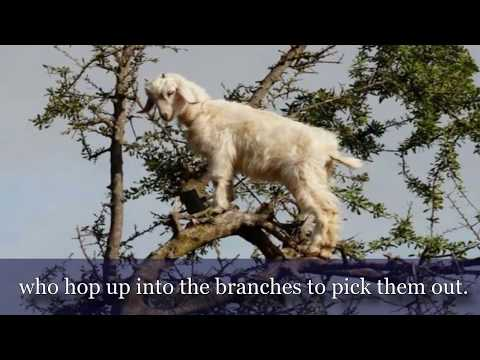 THE INCREDIBLE TREE CLIMBING GOATS OF MOROCCO