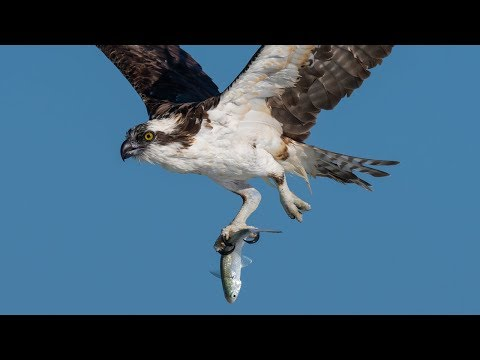 Nikon D850 & D500 Capture Incredible Detail & High Speed Action Osprey Pelican in Flight Photography
