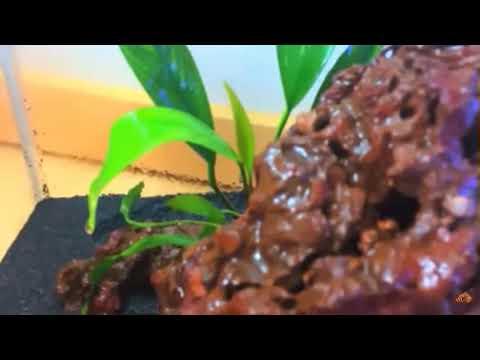 Анубиас ланцетовидный, Anubias lanceolata