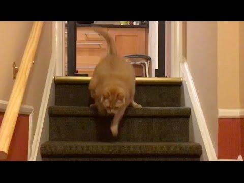 Jak odchudzić kota bezpiecznie i czym karmić otyłego kota?