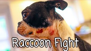 Boston Terrier (Smudge) gets in a fight with a Raccoon (story)