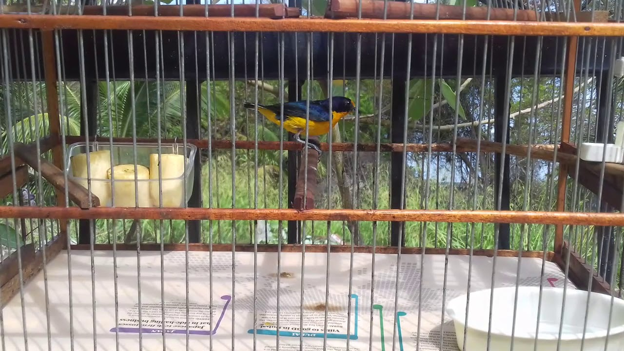 Image result for trinidad catching birds