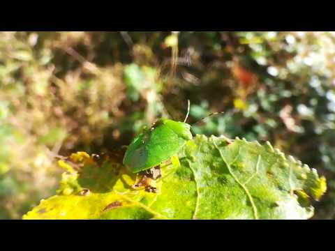Insect name - Green Stink Bug