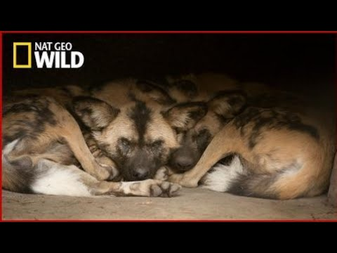National Geographic Documentary Wild - Predators Wild Dogs - BBC Documentary History