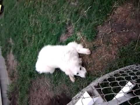 Great Pyrenees, 5 months old.