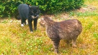 Big black Cat defends its territory | How do meow hungry Cats