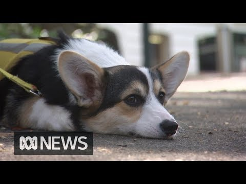 government-to-fund-therapy-dogs-for-australian-veterans-with-ptsd-|-abc-news