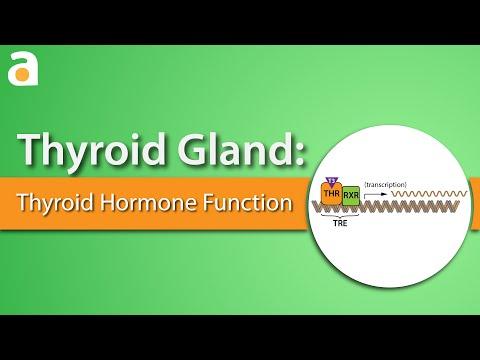 Тироксин (Т4 свободный): норма у женщин, мужчин, детей