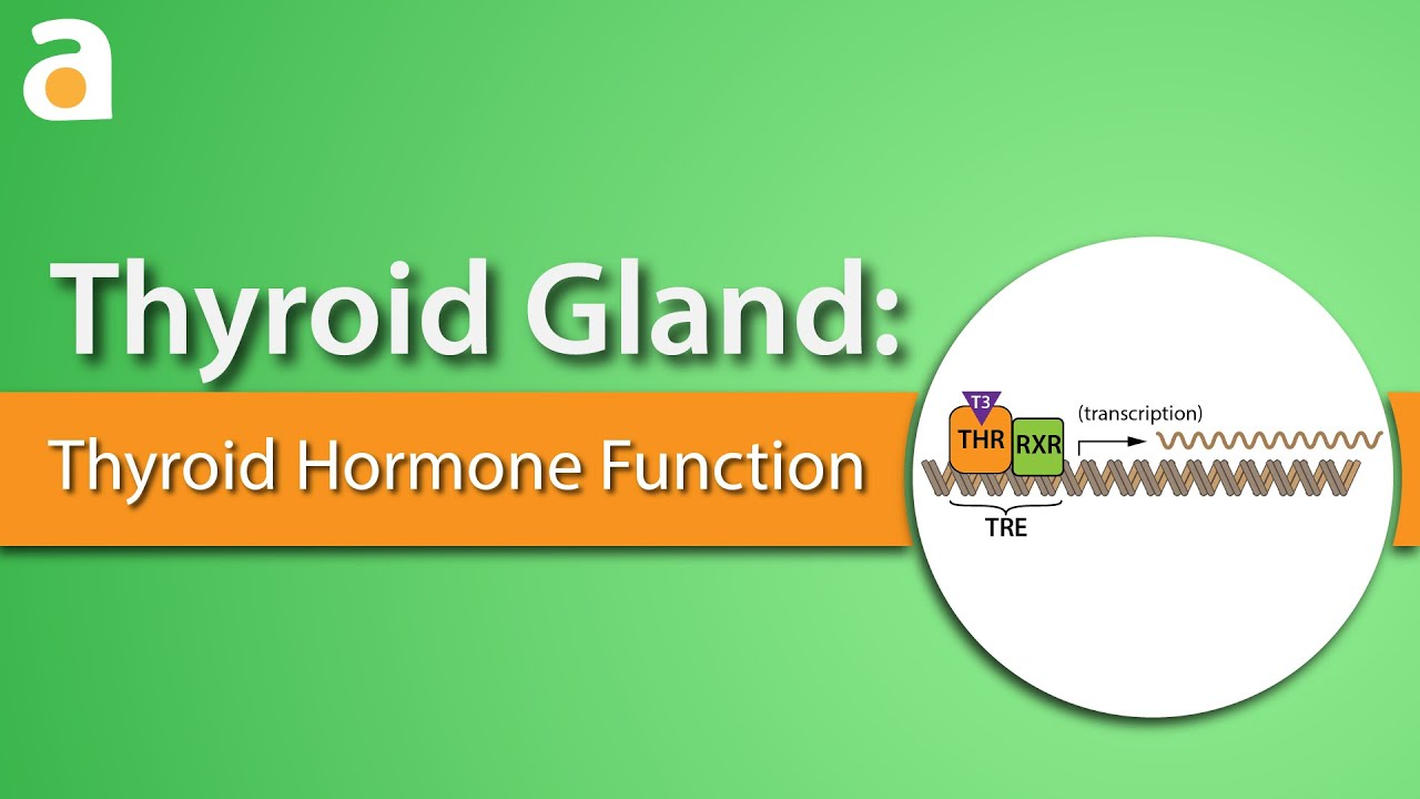 Thyroid Gland Thyroid Hormone Function Youtube