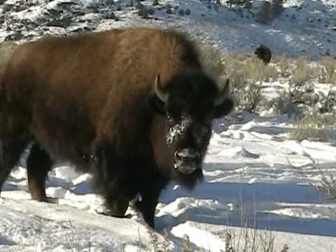 Awesome Bison, Lamar Valley, Yellowstone, Winter.wmv