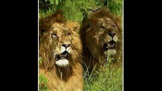 Смотреть интересный фильм Львы людоеды Кении  Документальный фильм