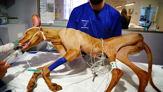 AMAZING VET CARE FOR DOG ABUSED LEFT WITH TWISTED LEGS AND BRAIN DAMAGE ! SHARE!