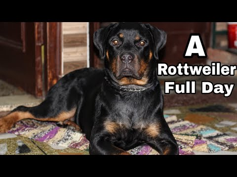 Life With A Rottweiler || Dog Can Talk Part 7 || Roxy || Review reloaded